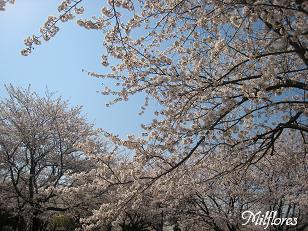 満開の桜(ふるさと公園).JPG