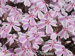 MilfloresIMG_0993.JPG